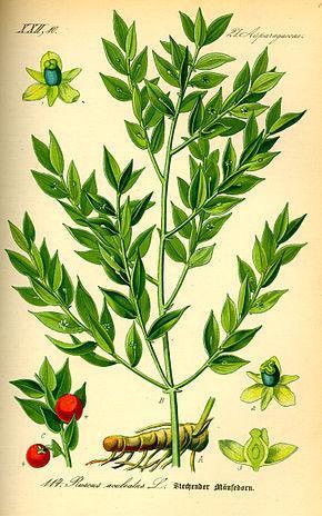 290px illustration ruscus aculeatus0